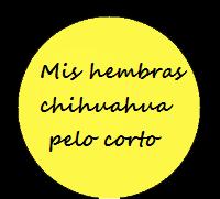 Chihuahuas hembras pelo corto