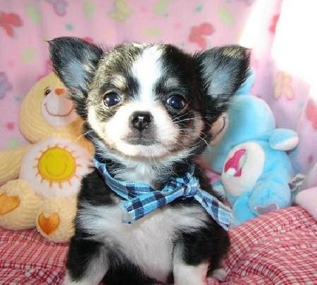 Foto de perro de raza chihuahua cachorro de color negro y blanco de pelo largo