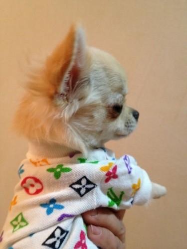 Foto de perro cachorro de raza chihuahua de color crema y pelo largo