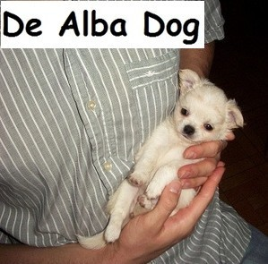 Foto perro raza chihuahua cachorro hembra de pelo largo, propiedad de los criadores de chihuahuas De Alba Dog en Valencia (España), venta de chihuahuas; cachorros chihuahua de pelo corto y largo con afijo y pedigree