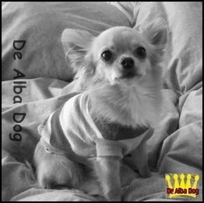 Foto de perro adulto de raza chihuahua macho de pelo largo de color dorado de los criadores de chihuahua con afijo De Alba Dog de Valencia, Comunidad Valenciana, España, venta de chihuahuas, cachorros chihuahua de pelo corto y largo en venta