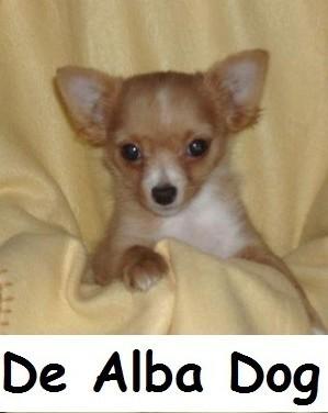 Foto de perro cachorro, de raza chihuahua, sexo macho, de pelo largo, bicolor, propiedad de los criadores de chihuahuas De Alba Dog en Valencia (España), venta de chihuahuas; cachorros chihuahua de pelo corto y largo con pedigree y afijo