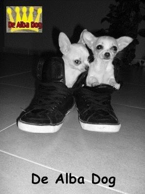 Foto de perros cachorros de raza chihuahua macho y hembra de pelo corto de color crema de los criadores de chihuahua con afijo De Alba Dog de Valencia, Comunidad Valenciana, España, venta de chihuahuas, cachorros chihuahua de pelo corto y largo en venta