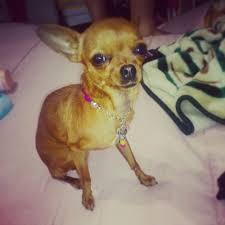 Foto de perro de raza chihuahua de color rojo y pelo corto