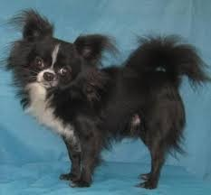 Foto de perro adulto de raza chihuahua de color negro y blanco de pelo largo