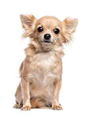 Foto de perro adulto de raza chihuahua de color crema y pelo largo