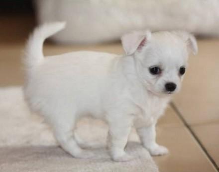 Foto de perro cachorro de raza chihuahua de color blanco y pelo largo