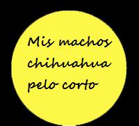 Chihuahuas machos pelo corto