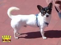 Chihuahua macho pelo corto de los criadores de chihuahuas De Alba Dog en España, Valencia