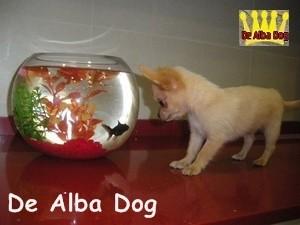 Foto de perro cachorro de raza chihuahua macho de pelo largo de color dorado de los criadores de chihuahua con afijo De Alba Dog de Valencia, Comunidad Valenciana, España, venta de chihuahuas, cachorros chihuahua de pelo corto y largo en venta