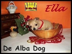 Foto de perro cachorro de raza chihuahua hembra de pelo corto de los criadores de chihuahuas con afijo De Alba Dog de Valencia, Comunidad Valenciana, España, venta de chihuahuas, cachorros chihuahua de pelo corto y largo en venta con pedigree