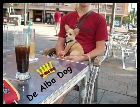 Foto perro raza chihuahua hembra, de pelo largo, propiedad de los criadores de chihuahuas De Alba Dog en Valencia (España), venta de chihuahuas; cachorros chihuahua de pelo corto y largo con afijo y pedigree