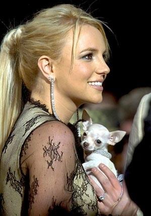 Foto de Britney Spears con su chihuahua blanco de pelo corto
