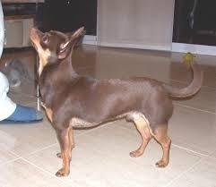 Foto perro adulto de raza chihuahua de color chocolate y fuego y pelo corto