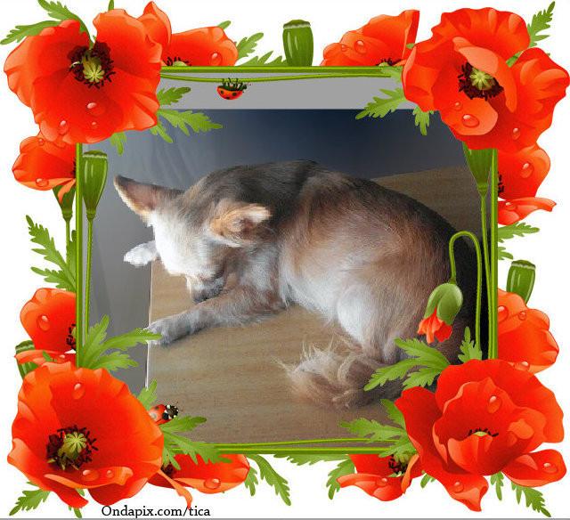 Foto de perro, de raza chihuahua hembra, chihuahua hembra de pelo largo, propiedad de los criadores de chihuahuas De Alba Dog en Valencia (España), venta de chihuahuas; cachorros chihuahua de pelo corto y largo con afijo y pedigree