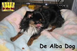 Foto de perro adulto de raza chihuahua macho de pelo largo de color negro-fuego y blanco de los criadores de chihuahua con afijo De Alba Dog de Valencia, Comunidad Valenciana, España, venta de chihuahuas, cachorros chihuahua de pelo corto y largo en venta