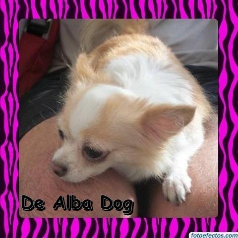 Foto perro de raza chihuahua hembra adulta, de pelo largo, propiedad de los criadores de chihuahuas De Alba Dog en Valencia (España), venta de chihuahuas; cachorros chihuahua de pelo corto y largo con afijo y pedigree