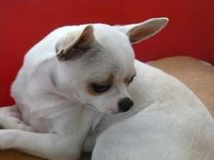 Foto de perro adulto de raza chihuahua de color blanco y pelo corto