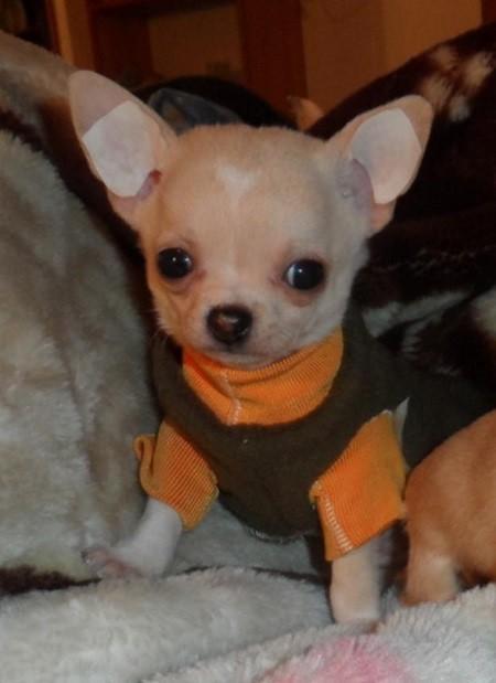 Foto perro chihuahua con esparadrapo para levantar las orejas. Orejas perro chihuahua. Orejas caidas perros chihuahua. Orejas perro chihuahueño. Levantar orejas perro chihuahua. Orejas perro esparadrapo. Orejas perro levantar. Perros chihuahua orejas