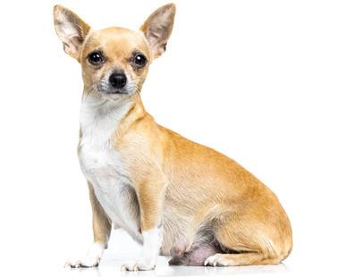 Foto de perro de raza chihuahua hembra preñada. Periodo de gestación de la hembra chihuahua. Chihuahuas Valencianos De Alba Dog, criadores de chihuahua en España, criadores de cachorros chihuahua en España, criadores de chihuahua de pelo corto y largo.