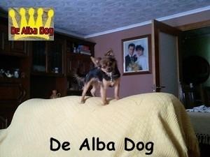 Foto de perro cachorro de raza chihuahua macho de pelo largo de color negro-fuego de los criadores de chihuahua con afijo De Alba Dog de Valencia, Comunidad Valenciana, España, venta de chihuahuas, cachorros chihuahua de pelo corto y largo en venta