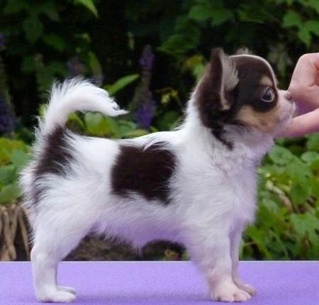 Foto de perro de raza chihuahua cachorro de color blanco, chocolate y fuego de pelo largo