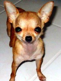Foto chihuahua. Raza chihuahueño. Perro chihuahua caracteristicas. Peso del chihuahua. colores del chihuahua. El perro chihuahua y los niños. Caracter, temperamento del chihuahua o chihuahueño. Alimentacion del chihuahua. Salud del perro de raza chihuahua