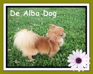 Foto de perro adulto, de raza chihuahua, sexo macho, pelo largo, propiedad de los criadores de chihuahuas De Alba Dog en Valencia (España), venta de chihuahuas; cachorros chihuahua de pelo corto y largo con pedigree y afijo