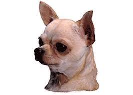 Imagen de la cabeza del perro de raza chihuahua o chihuahueño. Chihuahua cabeza manzana.