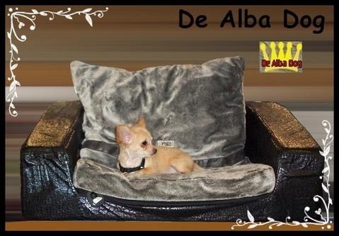 Foto perro de raza, cachorro chihuahua hembra, de pelo largo, propiedad de los criadores de chihuahuas De Alba Dog en Valencia (España), venta de chihuahuas; cachorros chihuahua de pelo corto y largo con afijo y pedigree