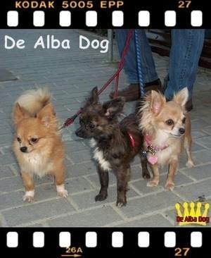 Foto de perros, de raza chihuahua, sexo macho, de pelo largo, de color atigrado, propiedad de los criadores de chihuahuas De Alba Dog en Valencia (España), venta de chihuahuas; cachorros chihuahua de pelo corto y largo con pedigree y afijo