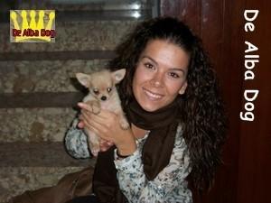 Foto cachorro chihuahua macho de color dorado y pelo largo de los criadores de perros de raza chihuahua De Alba Dog, venta de cachorros chihuahua de pelo corto y largo con pedigree y afijo en Valencia, Comunidad Valenciana, España