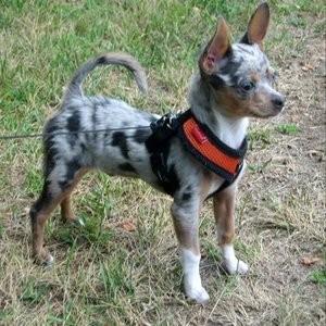 Foto perro adulto de raza chihuahua de color merle y pelo corto