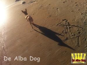 Foto de perro de raza chihuahua macho de pelo corto de los criadores de chihuahua con afijo De Alba Dog de Valencia, Comunidad Valenciana, España, venta de chihuahuas, cachorros chihuahua de pelo corto y largo en venta