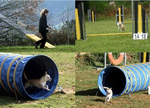 Foto collage de perro de raza chihuahua haciendo agility, primer perro chihuahua en España en practicar el deporte de agility