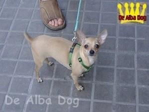 Hembra chihuahua pelo corto color cervato de los criadores de chihuahuas de Alba Dog en Valencia (España). Venta de chihuahuas; cachorros chihuahua de pelo corto y pelo largo con afijo y pedigree