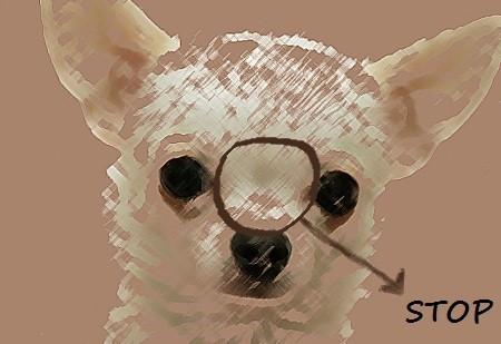 Imagen de la cabeza de un perro de raza chihuahua vista de frente; stop del perro de raza chihuahua o chihuahueño. Depresión naso-frontal del chihuahua.