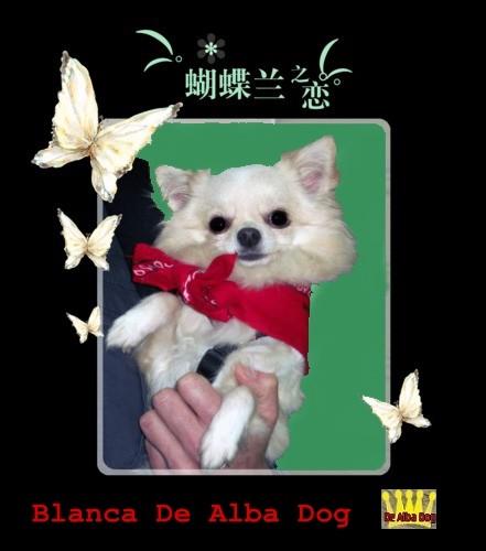 Foto perro de raza chihuahua hembra adulta, de pelo largo y color blanco, propiedad de los criadores de chihuahuas De Alba Dog en Valencia (España), venta de chihuahuas; cachorros chihuahua de pelo corto y largo con afijo y pedigree