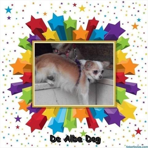 Foto perro de raza chihuahua hembra adulta, de pelo largo, bicolor, propiedad de los criadores de chihuahuas De Alba Dog en Valencia (España), venta de chihuahuas; cachorros chihuahua de pelo corto y largo con afijo y pedigree