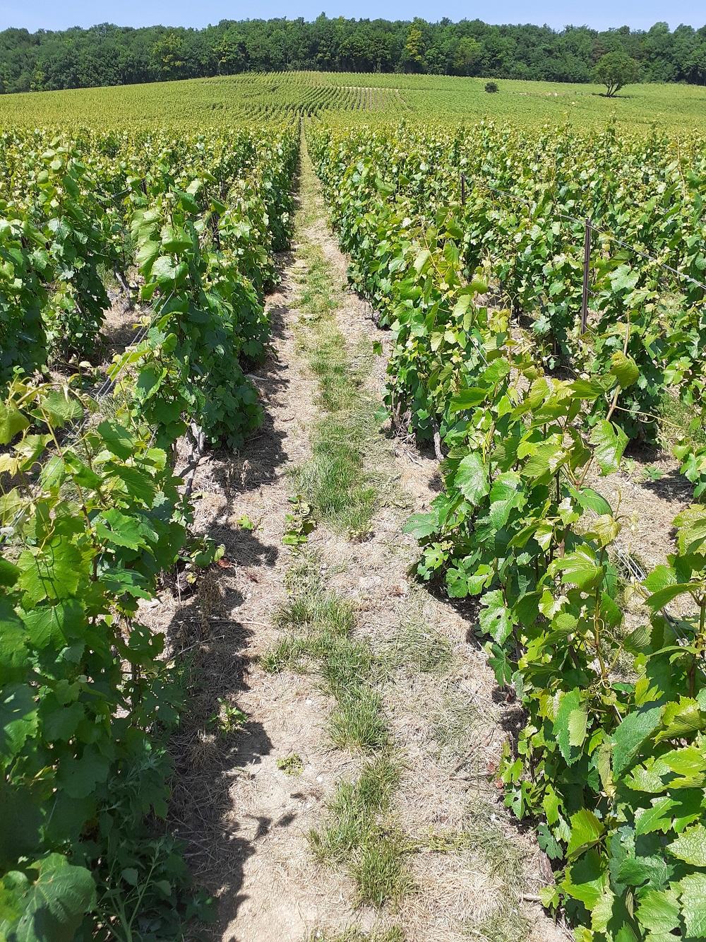 vigne récemment enherbée