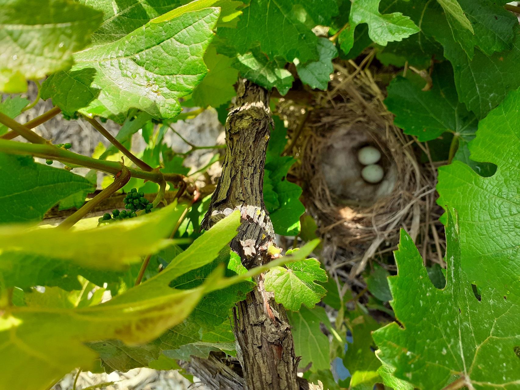nid d'oiseaux au milieu des vignes