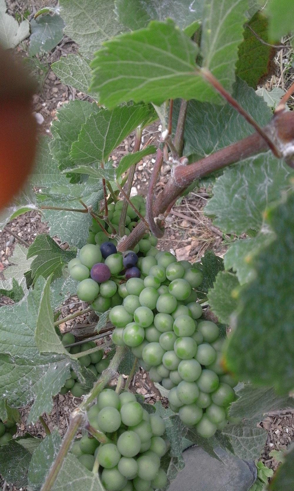 raisin qui commence à mûrir
