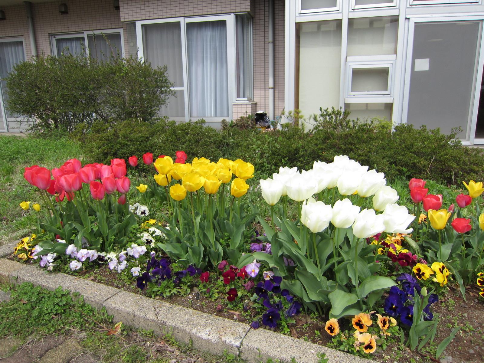 こちらは昨シーズンの様子。どんな風に咲くのか楽しみです。パンジーとチューリップのレイアウトにも注目!
