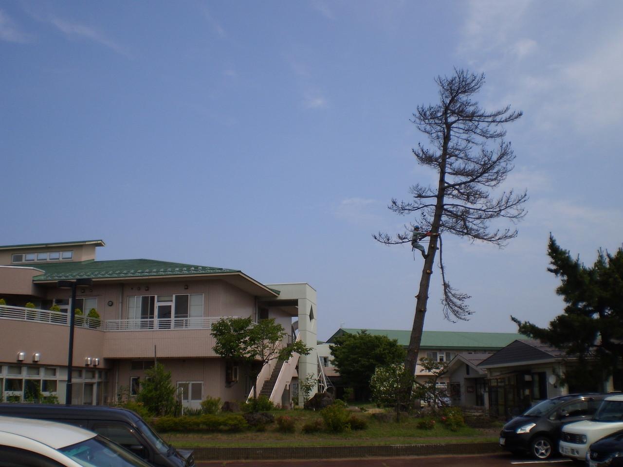 下の枝からチェーンソーで伐採していきます