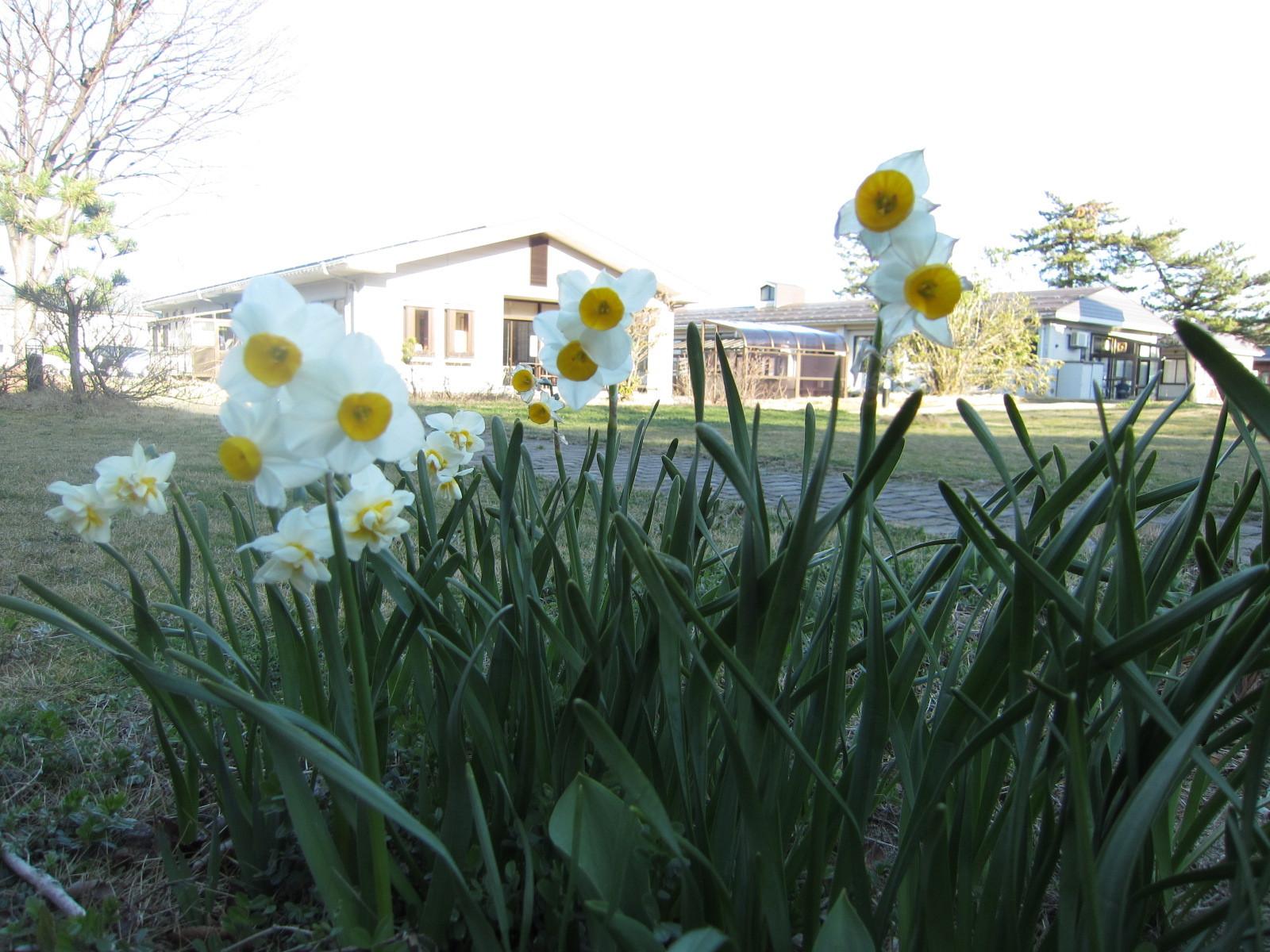 春風にそよぐ「水仙」たちに、心が「ワクワク!」