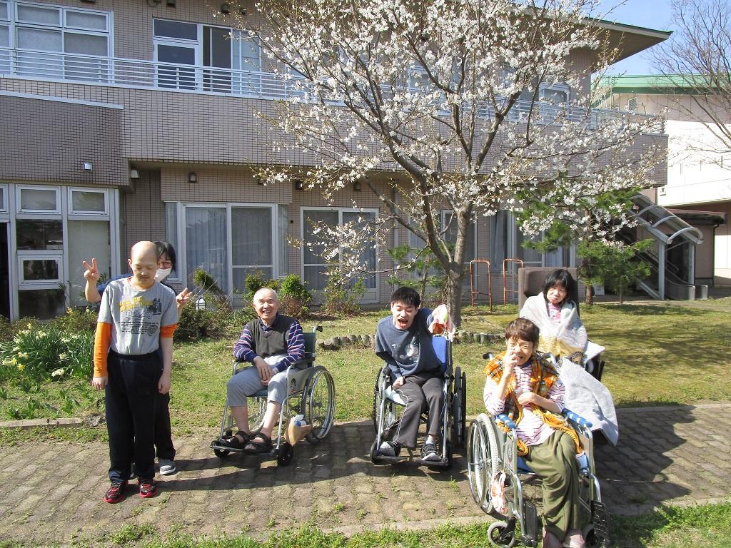 当施設の中庭にある桜。20年前は小さな苗木でしたが、ここまで成長しました(さいはま園)