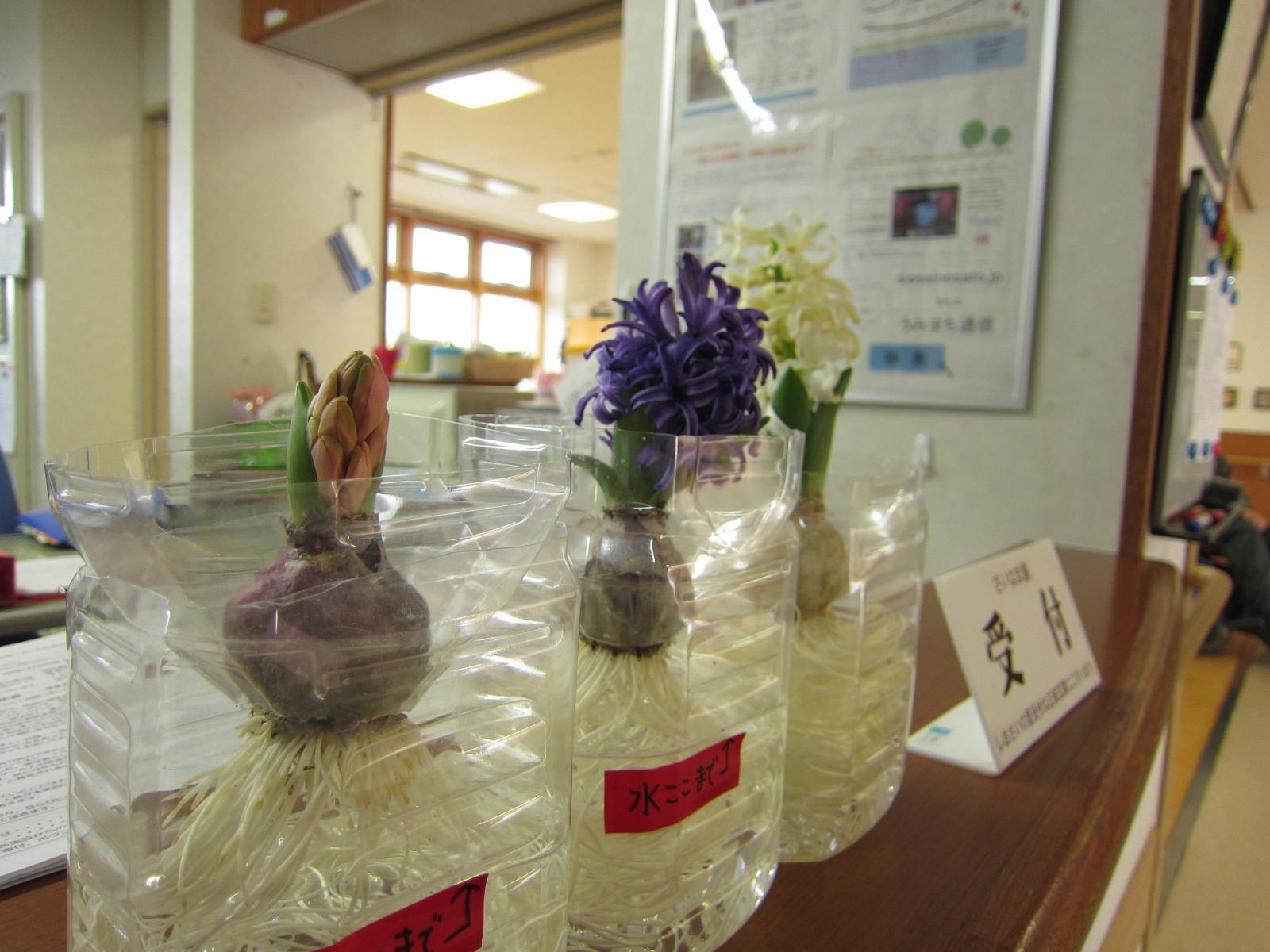 追伸。3か月前に植えたペットボトルの「ヒヤシンス」が咲き始めました