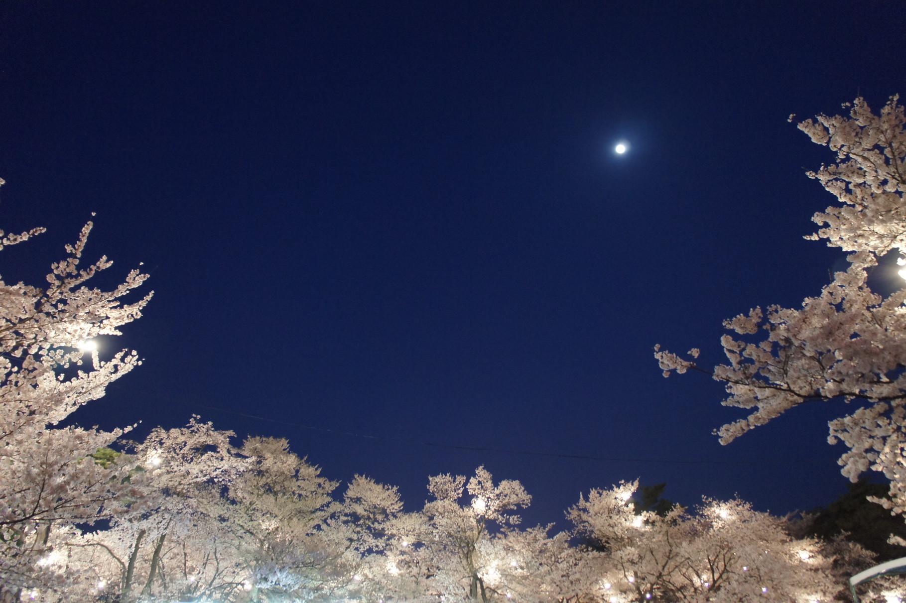 ぼんぼりと月の明かりがやさしく桜を包みます