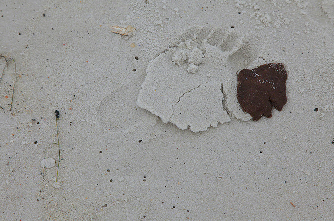A dispersed oil tar ball in Orange Beach, Alabama [Erika Blumenfeld]