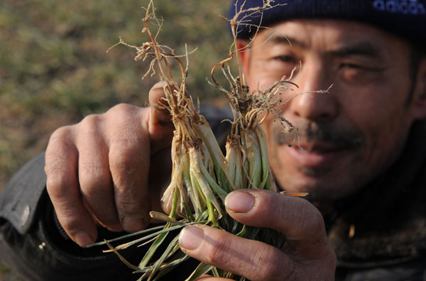 Sun Minghua, a rural resident of Bozhou in East China's Anhui province, checks out withering wheat seedlings on his farm on Thursday. [Photo/China Daily]
